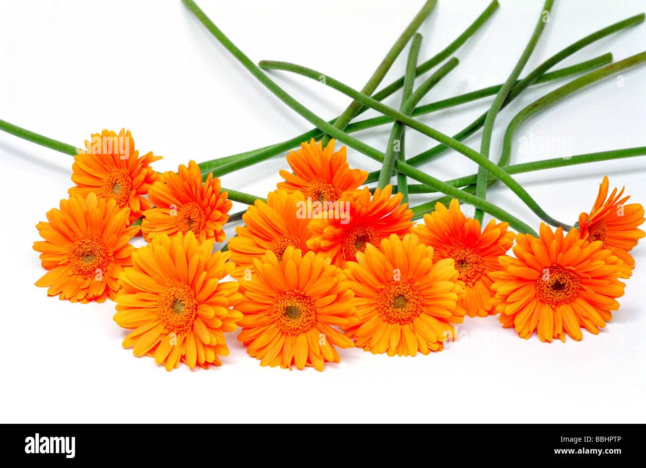 Orange gerberas a daisy type flower on a plain background stock orange gerberas a daisy type flower on a plain background dhlflorist Images
