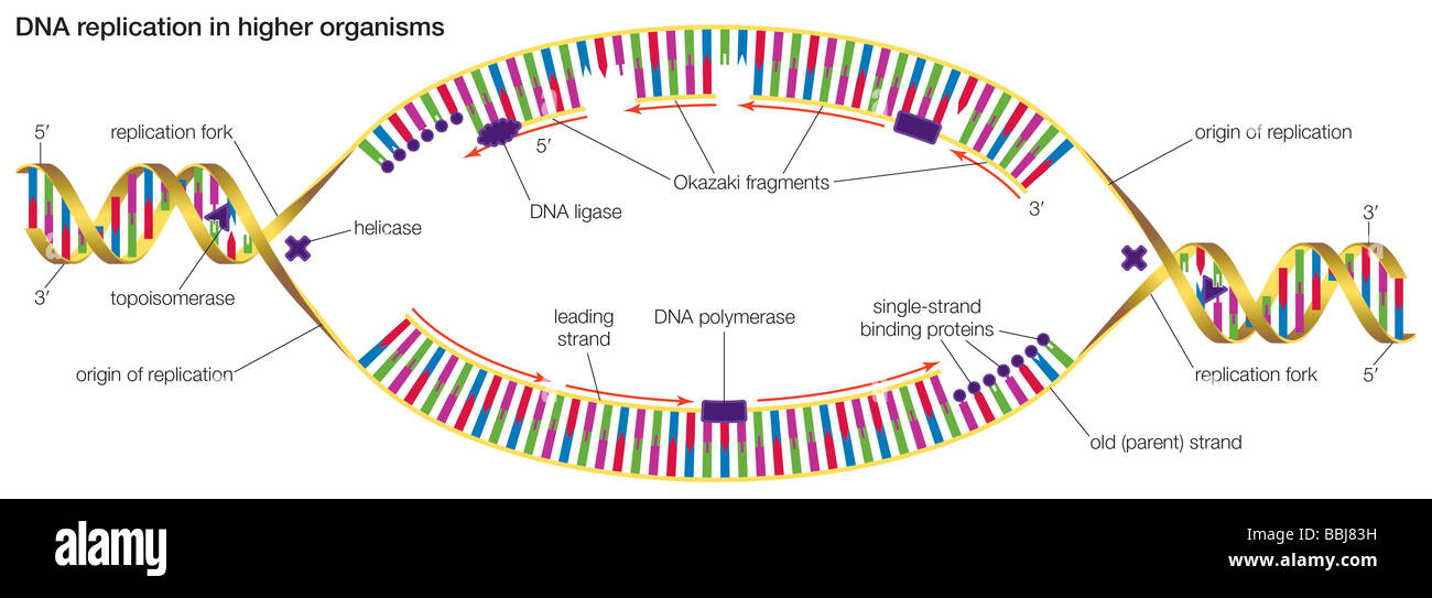 Dna replication in higher organisms begins at multiple origins of dna replication in higher organisms begins at multiple origins of replication and progresses in two directions ccuart Images