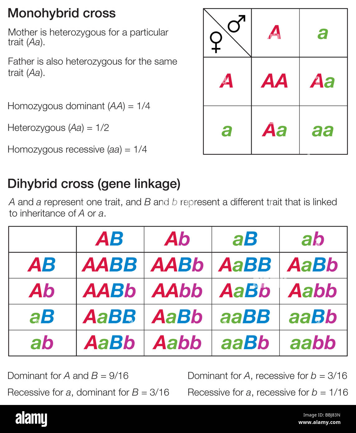 Punnett squares of a monohybrid and a dihybrid cross, used ...