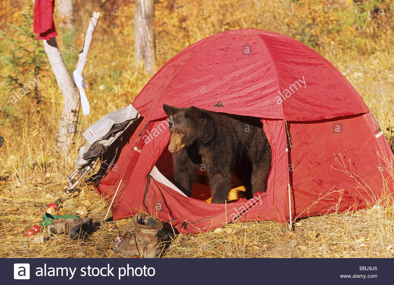 Grizzly bear - looking out of tent & Grizzly bear - looking out of tent Stock Photo: 24374286 - Alamy