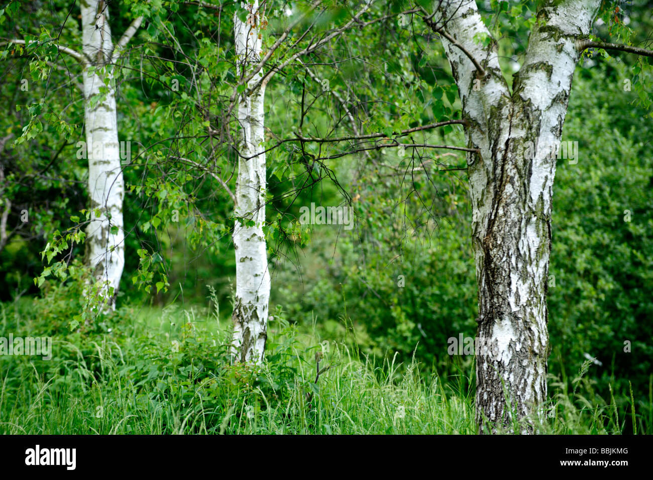 Small Copse Of Silver Birch Trees Stock Photo Royalty