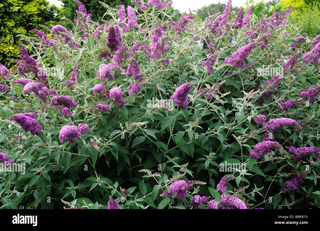 Buddleja 39 lochinch 39 purple flower flowers buddlejas buddleia stock photo royalty free image - Flowers planted may complete garden ...