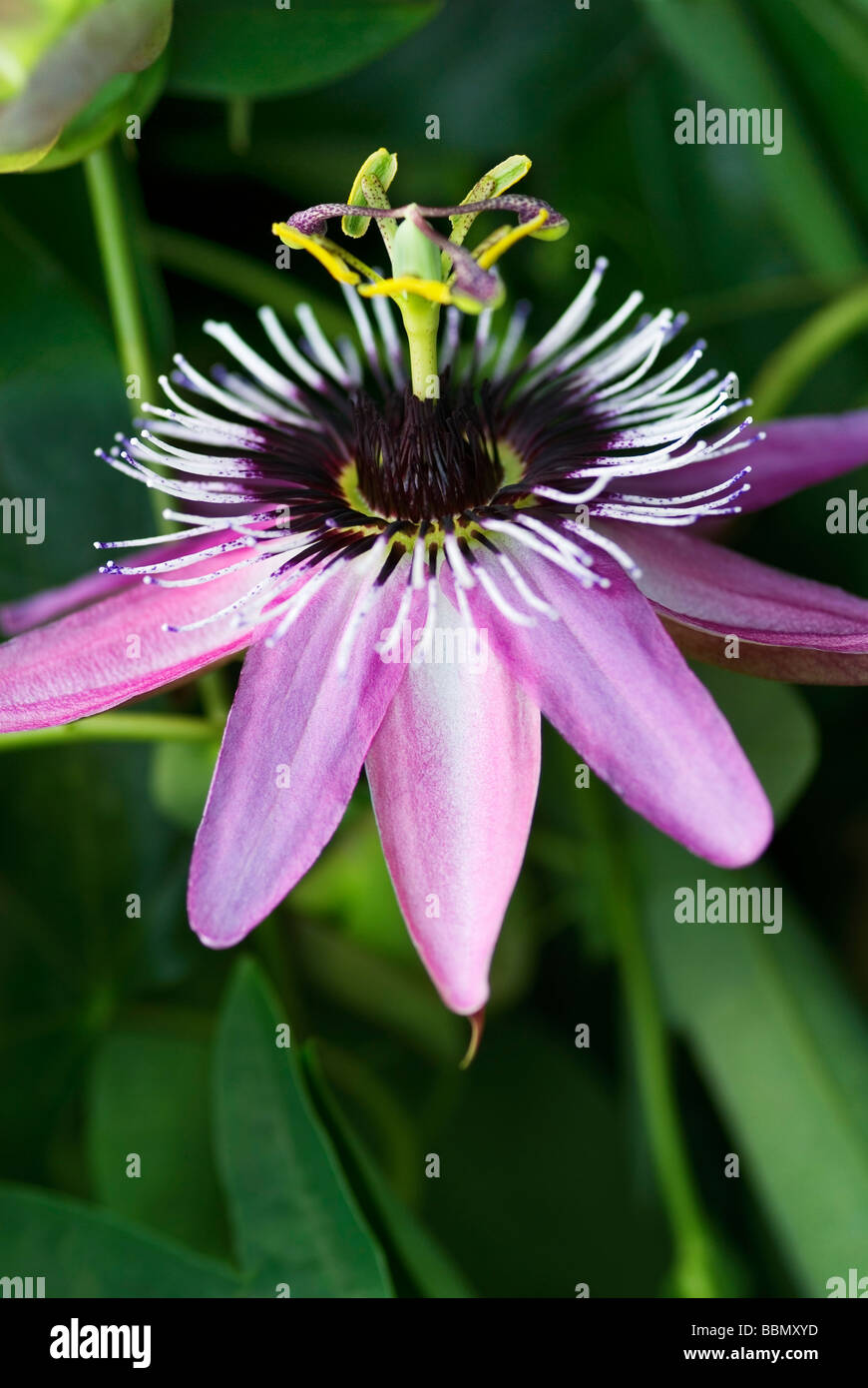 close up portrait of passiflora caerulea x racemosa