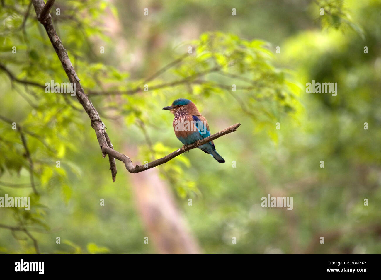 The state bird of karnataka the indian roller coracias the state bird of karnataka the indian roller coracias benghalensis sits on a branch in the nagarhole national park biocorpaavc Images