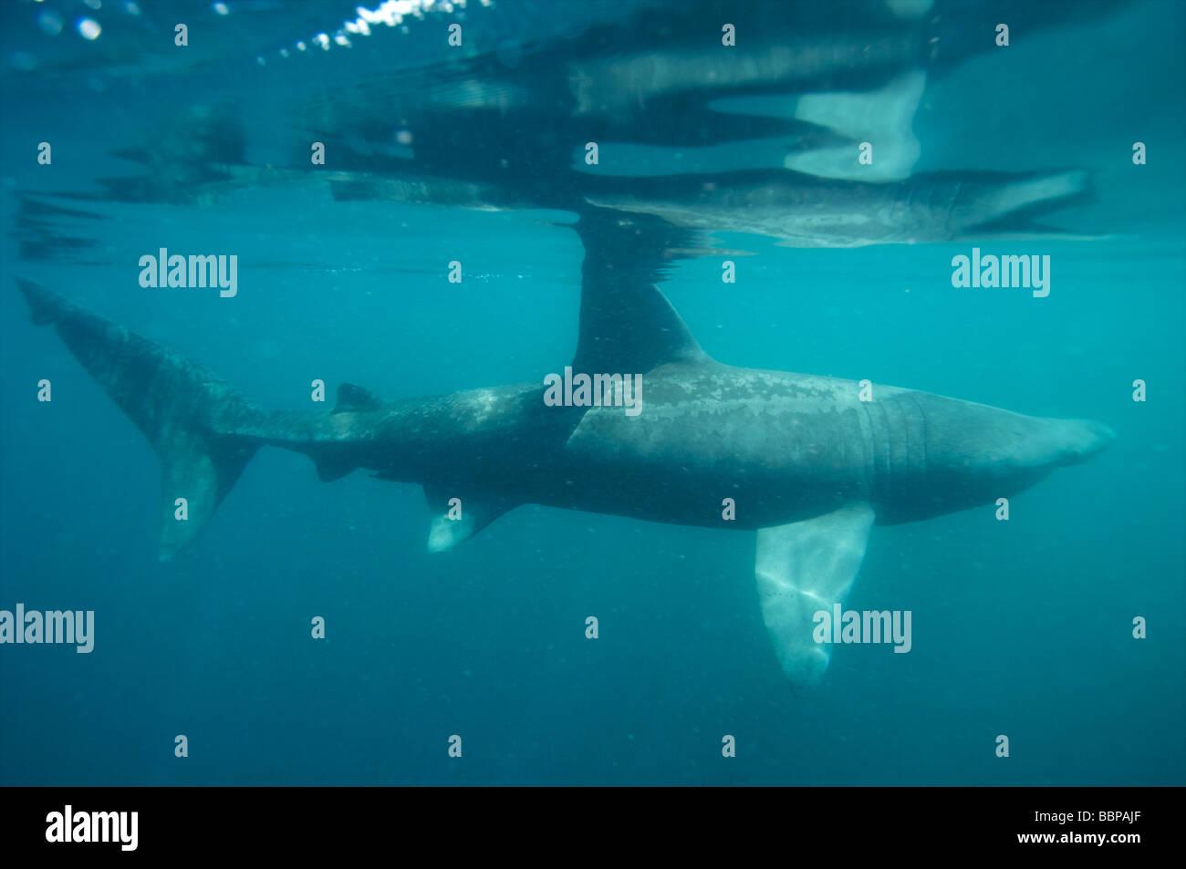 Basking shark feeding of the Cornish Coastline Mouth ...