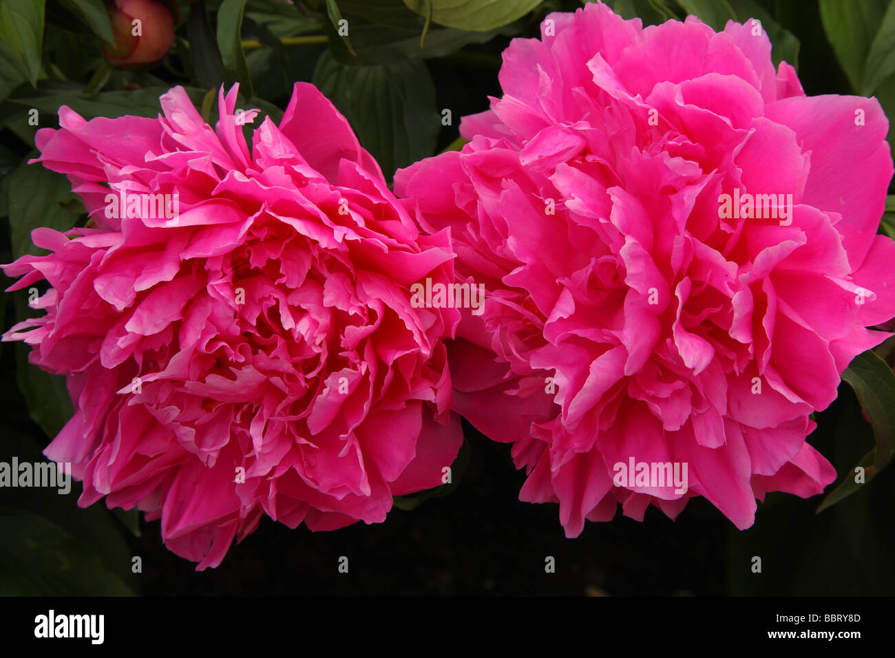 Two pink peonies flowers close up peonia stock photo royalty free stock photo two pink peonies flowers close up peonia dhlflorist Images