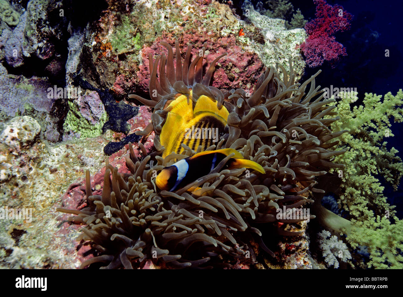 Magnificent sea anemone eating striped butterflyfish as for What do clown fish eat