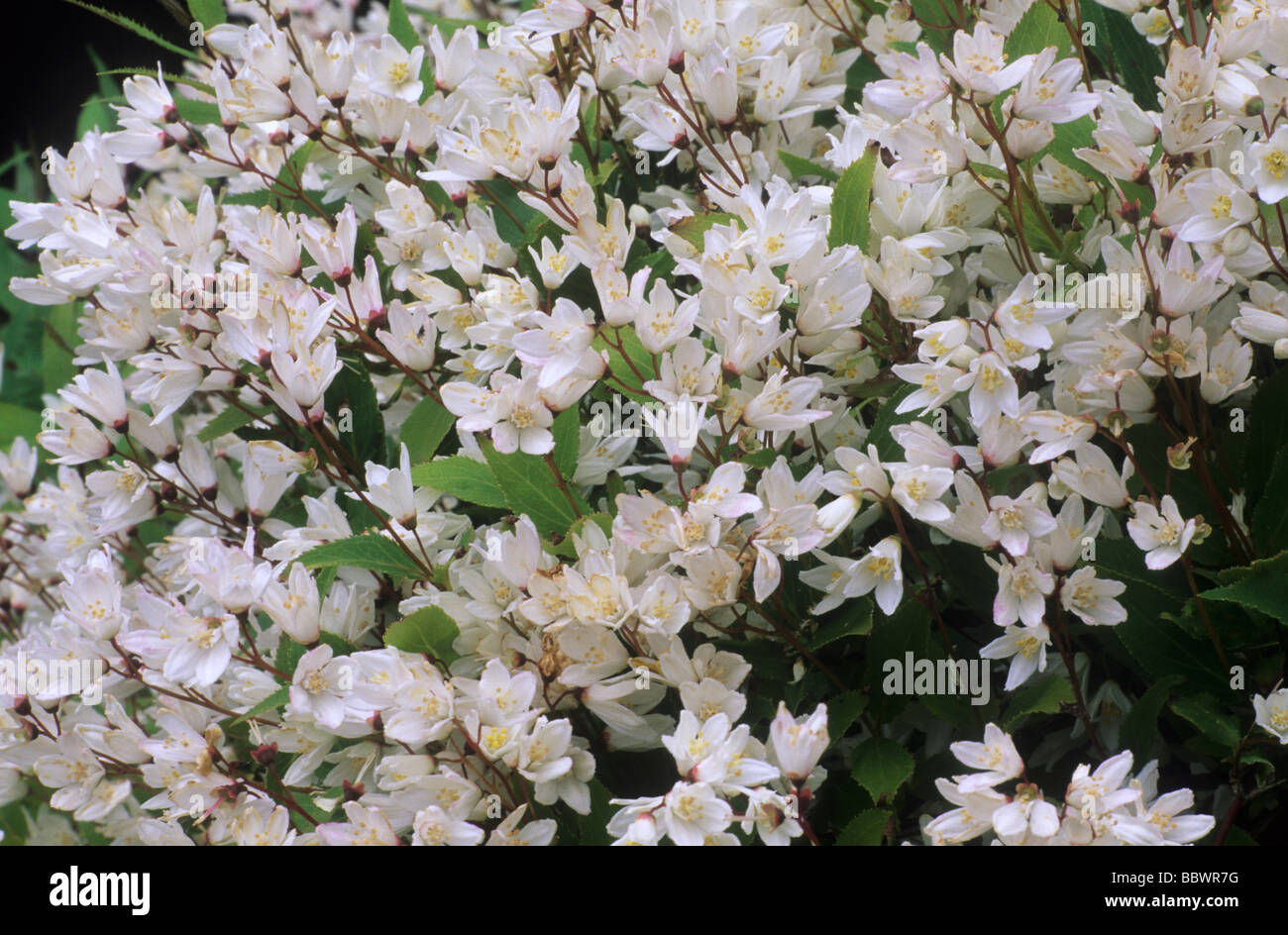 Fantastic white garden plants and flowers pictures inspiration deutzia gracilis nikko white flower flowers garden plant plants mightylinksfo Image collections