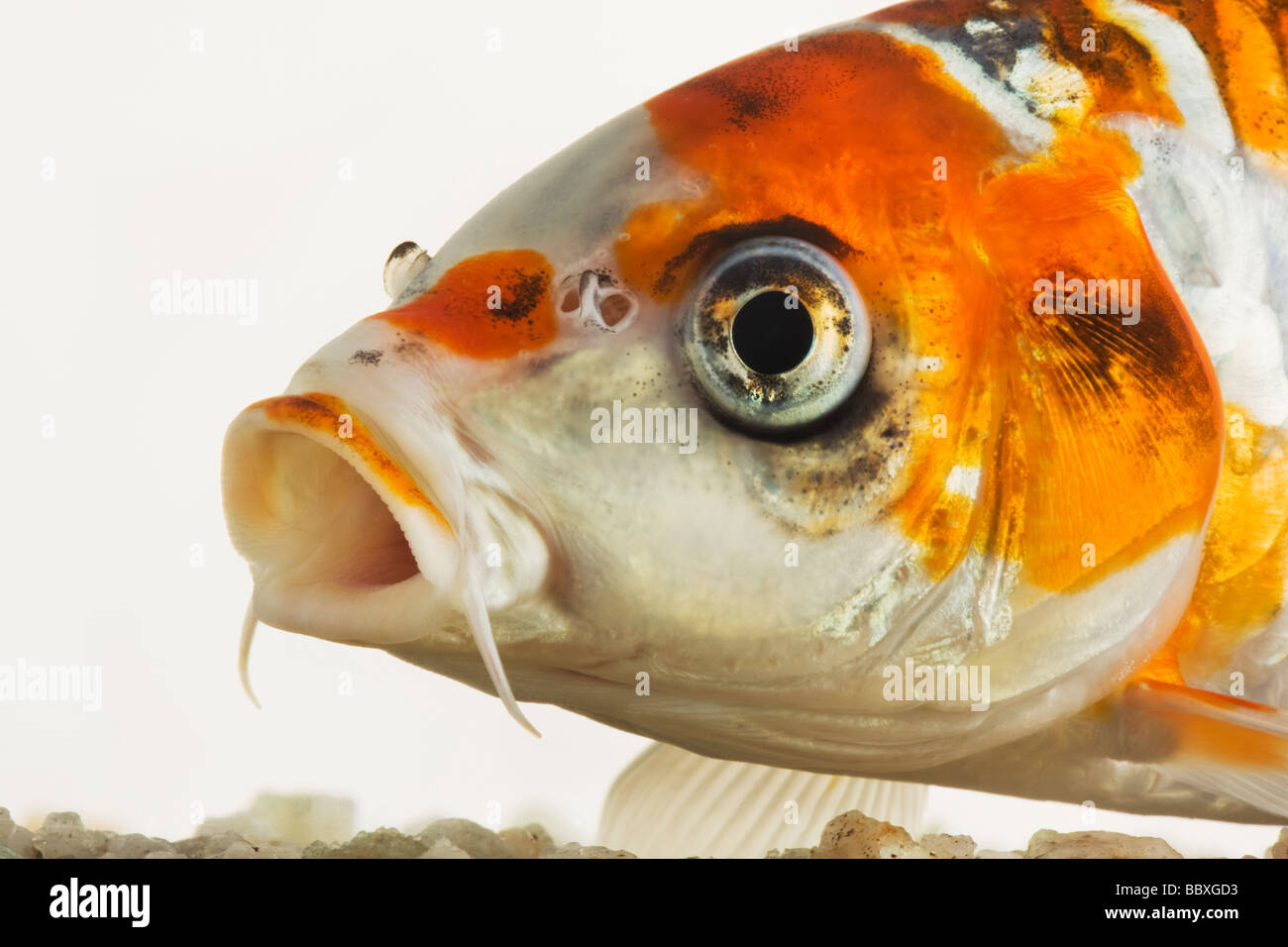 pet fish stock photos u0026 pet fish stock images alamy