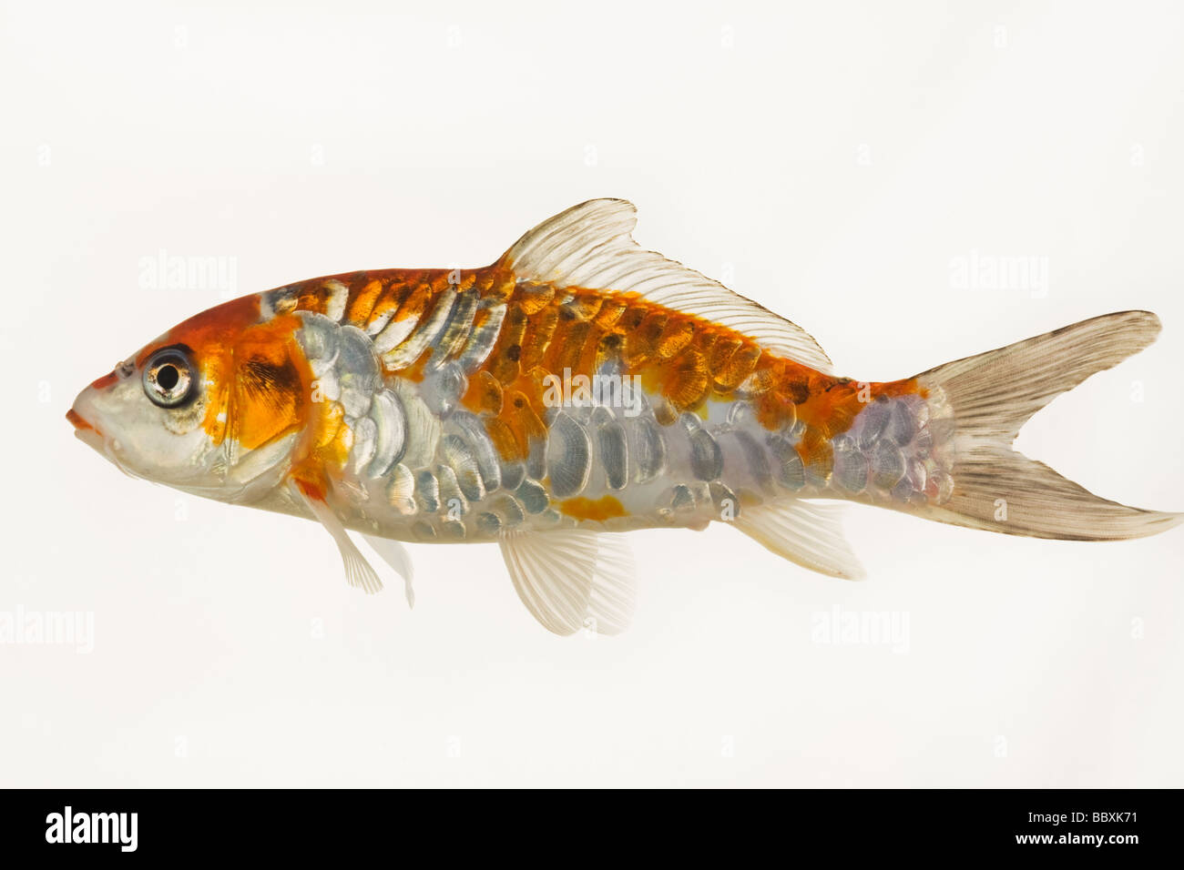 Koi fish domesticated variety of the common carp cyprinus for Variete koi