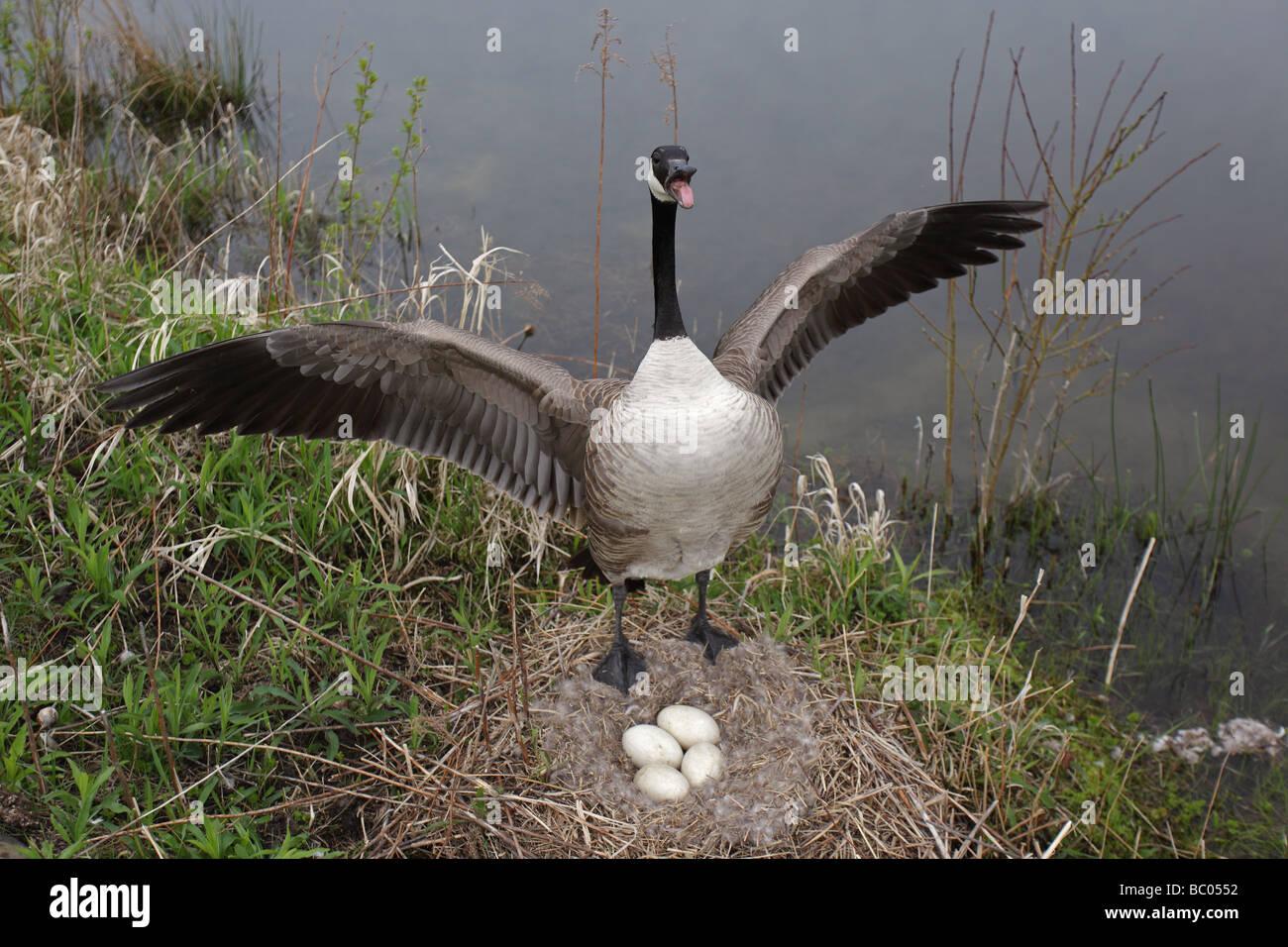 Canada Goose kensington parka outlet fake - Canada Goose (branta Canadensis) Mother Protecting Eggs On Nest ...