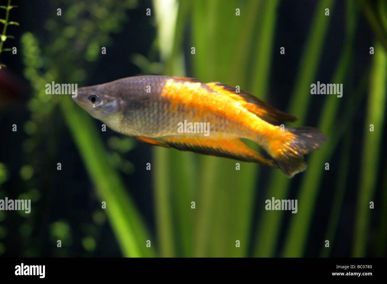 Freshwater aquarium fish boise idaho - Parkinson S Rainbow Fish Melanotaenia Parkinsoni Melanotaeniidae Atheriniformes New Guinea Stock