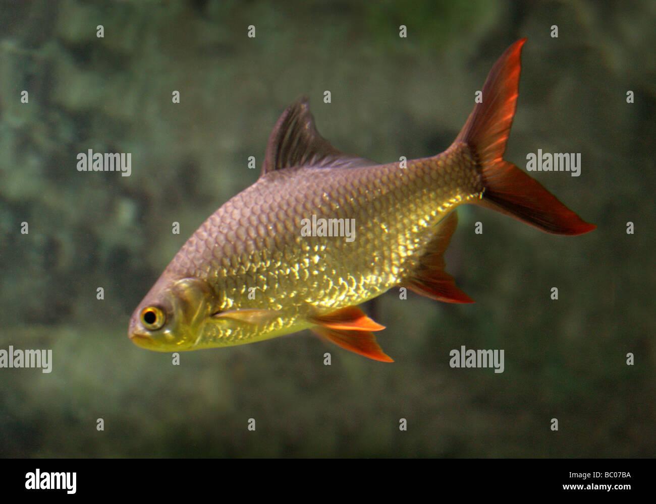 Freshwater fish kauai - Golden Rudd Scardinius Erythrophthalmus Cyprinidae A Freshwater Fish Stock Image