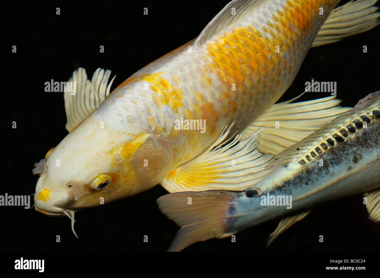 White and yellow yamabuki hariwake butterfly koi fish in for White koi carp