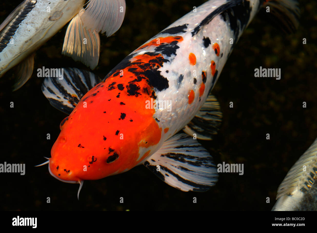 Red white and black gin rin menkaburi taisho sanke for All black koi fish