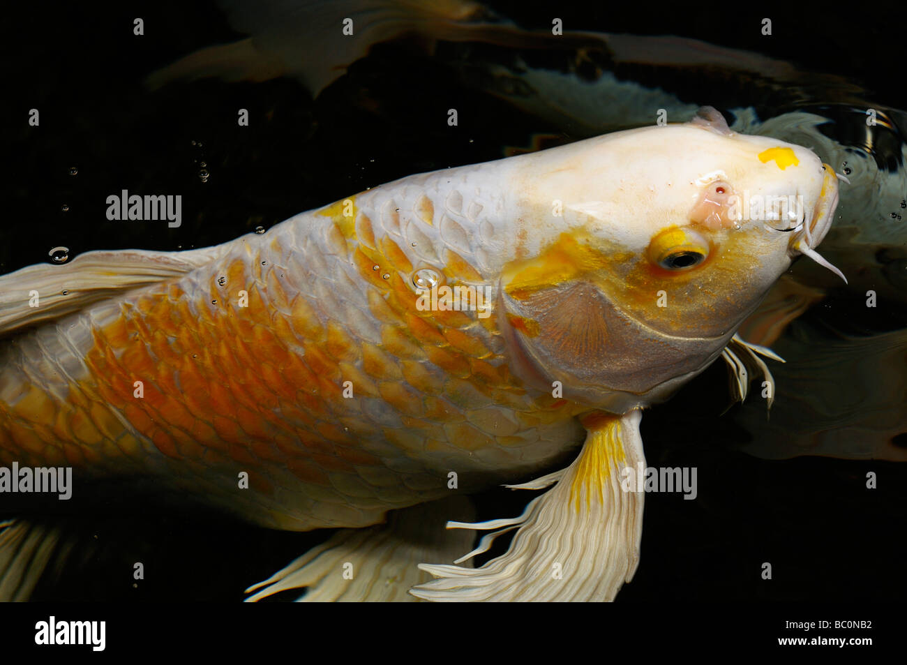 White and yellow yamabuki hariwake butterfly koi fish for Koi hariwake