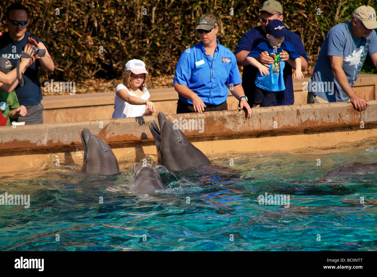 Interaction Of Dolphins And People At Feeding Time In A Outdoor Aquarium In  Florid