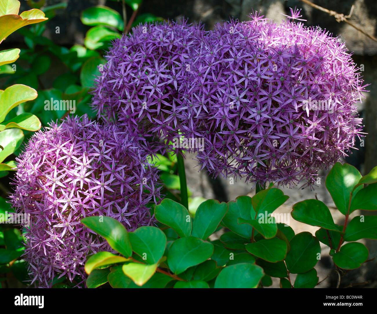 liliaceae allium globemaster large purple flowers flower head, Beautiful flower