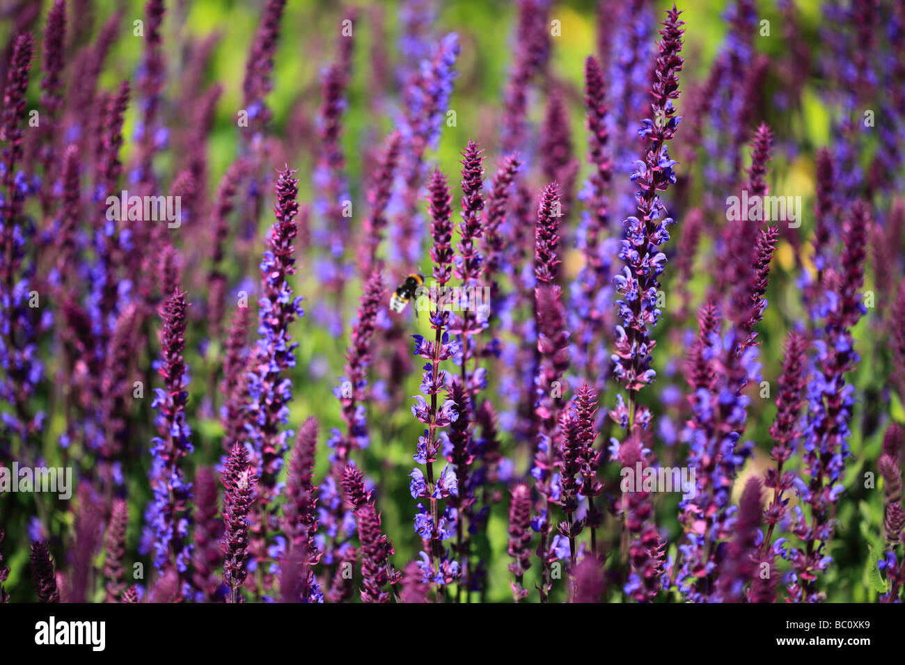 bee on salvia nemorosa caradonna stock photo royalty free. Black Bedroom Furniture Sets. Home Design Ideas