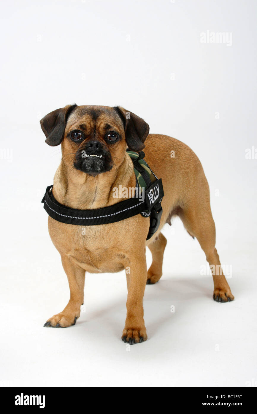 Mixed Breed Dog Crossbred Pug Dachshund Undershot Bite