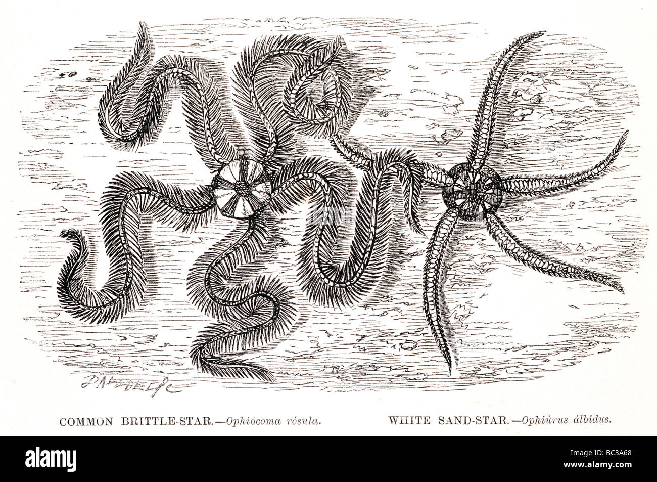Brittle Star Drawing