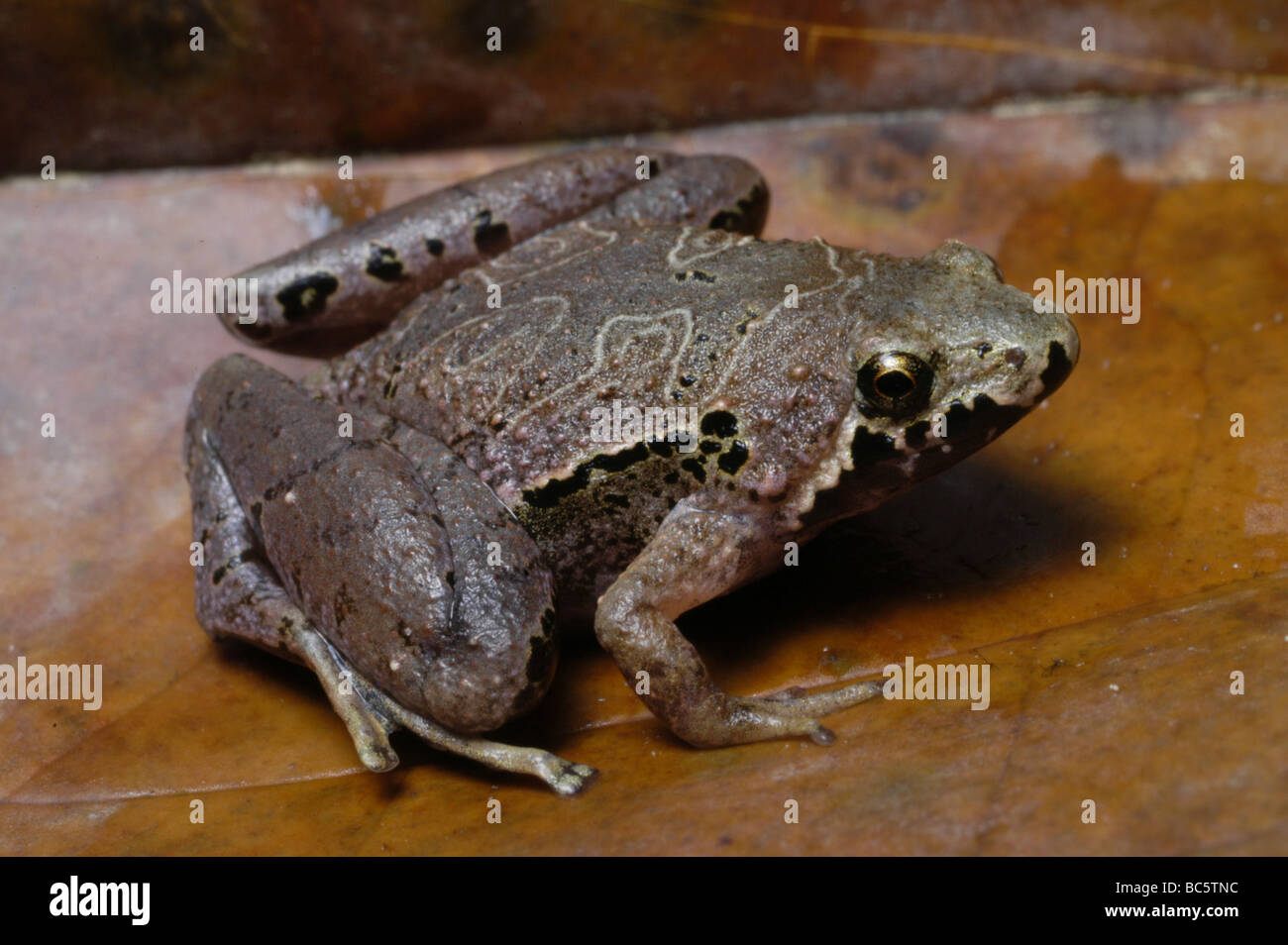 borneo narrow mouthed frog microhyla borneensis stock photo