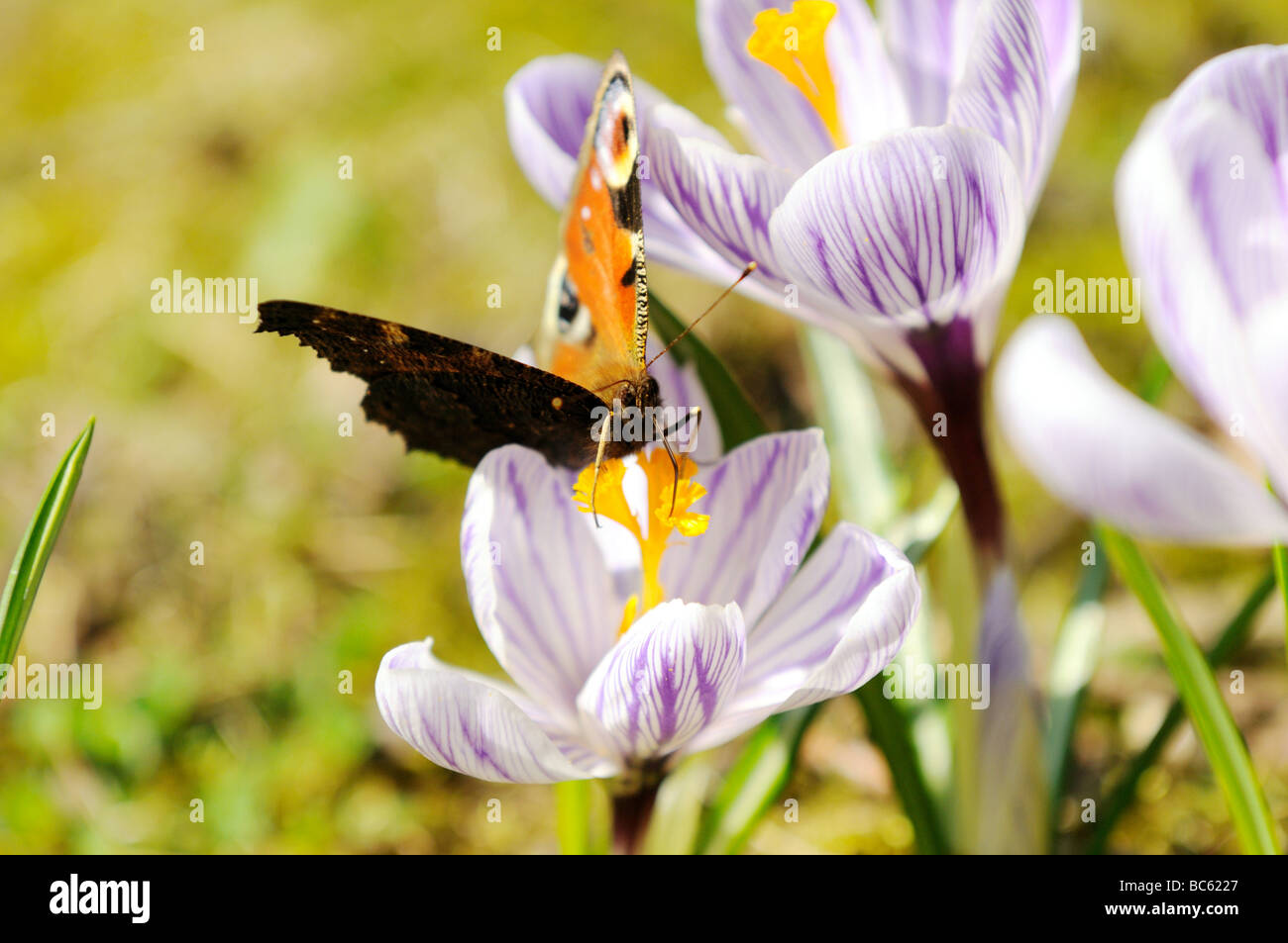 http://c8.alamy.com/comp/BC6227/close-up-of-peacock-butterfly-pollinating-crocus-flower-in-field-franconia-BC6227.jpg