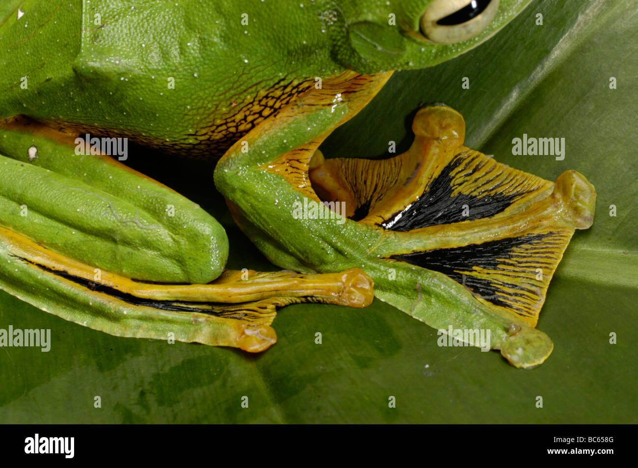 frogs with feet Toads and webbed