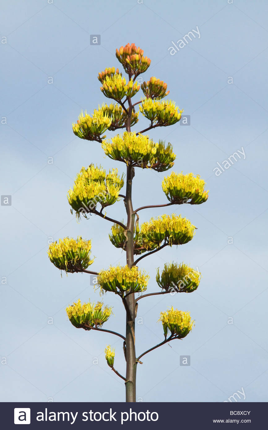 parrys-agave-century-plant-agave-parryi-in-bloom-BC8XCY.jpg