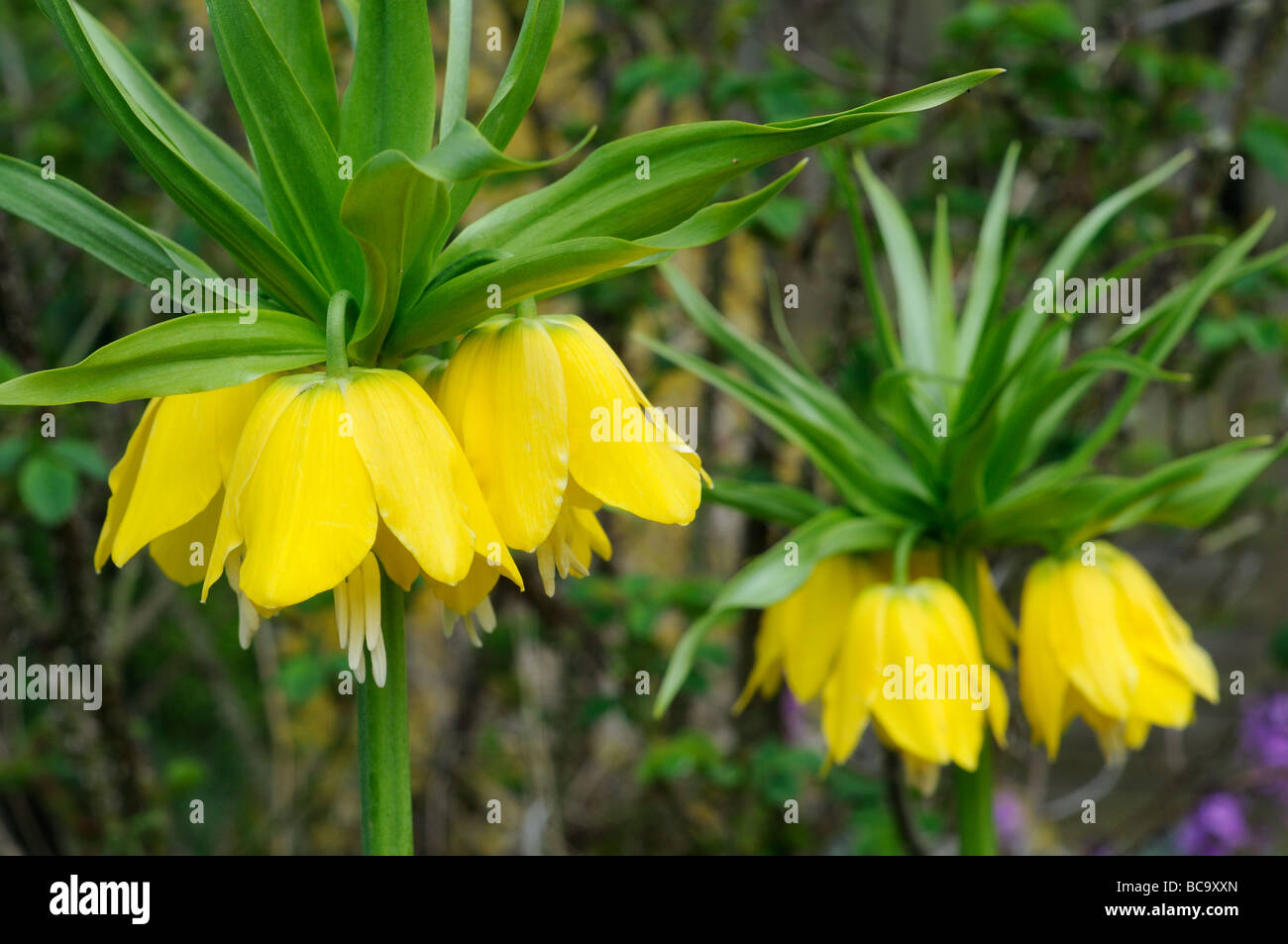 Fritillaria imperialis yellow flowered three plants in full flower