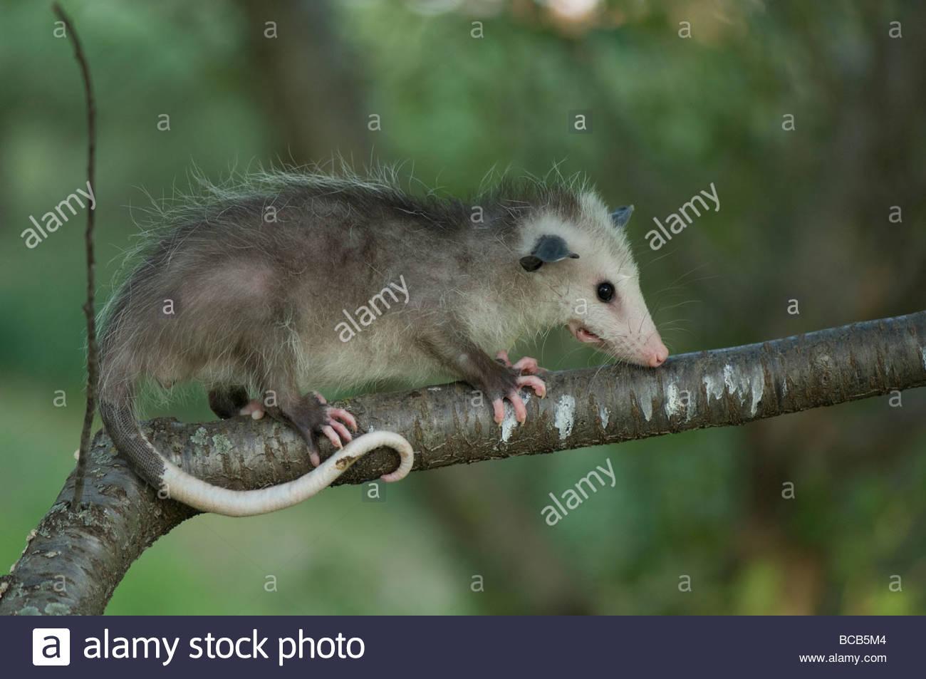 Opossum Kansas A baby opossum  Didelphis
