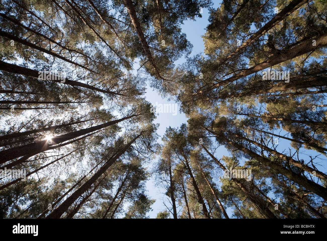 Wide angle view of a pine forest canopy with sunlight shining through. Taken from ground level & Wide angle view of a pine forest canopy with sunlight shining ...