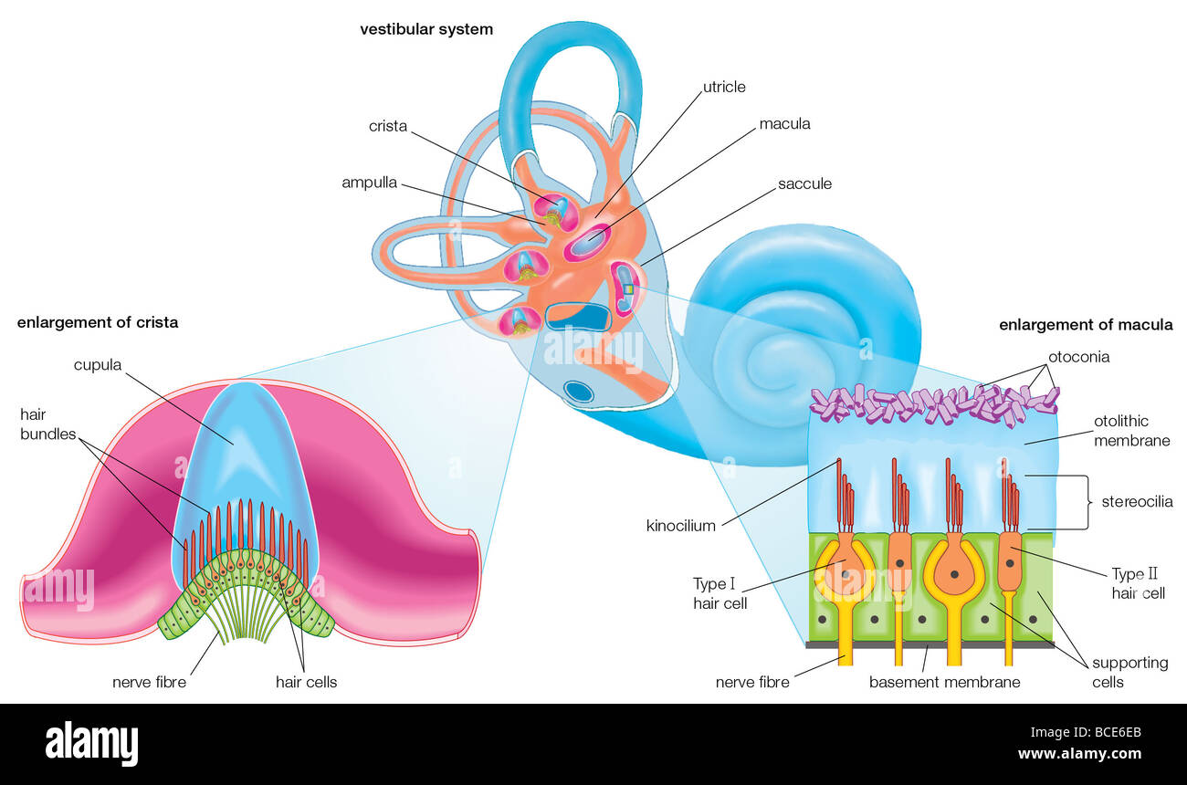 The membranous labyrinth of the vestibular system, which contains ...