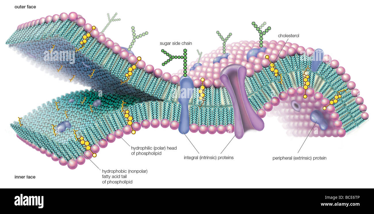 diagram of the cell membrane choice image how to guide