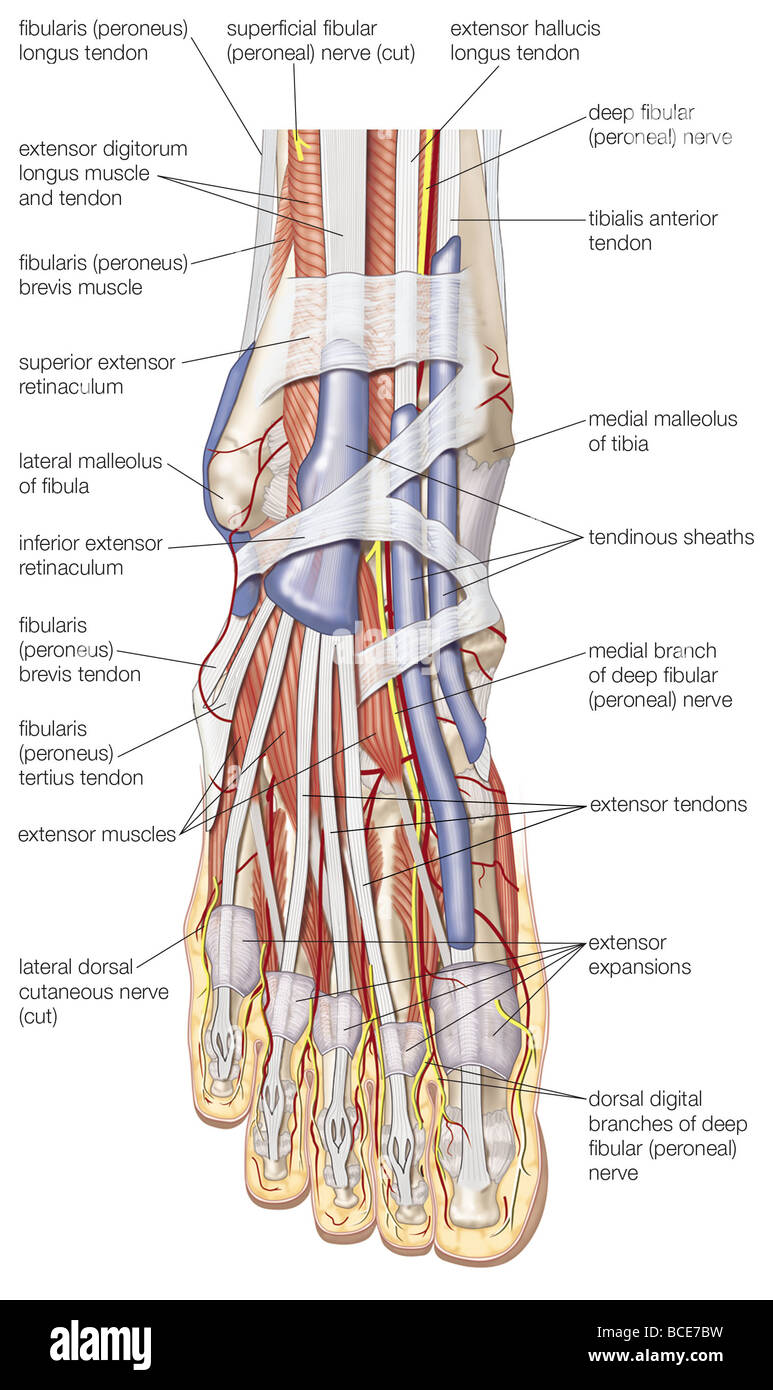 dorsal view of the right foot  showing the major muscles  tendons stock photo  royalty free