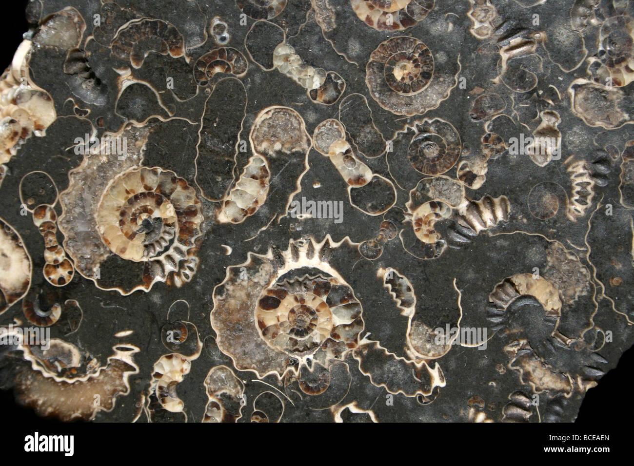 Marston Magna Marble Ammonite Fossil Somerset England Uk