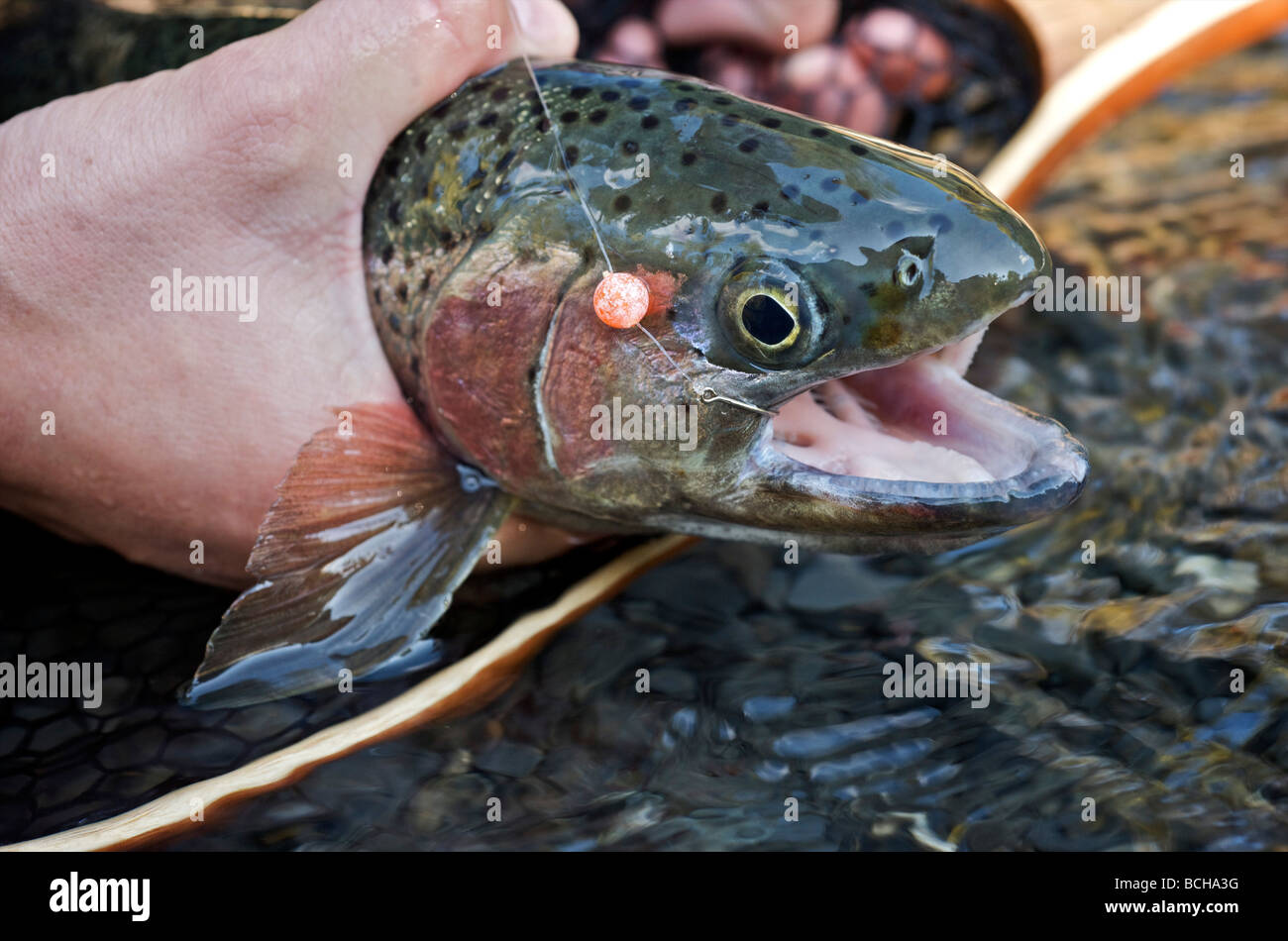 woman holding a rainbow trout caught on an egg while fly fishing