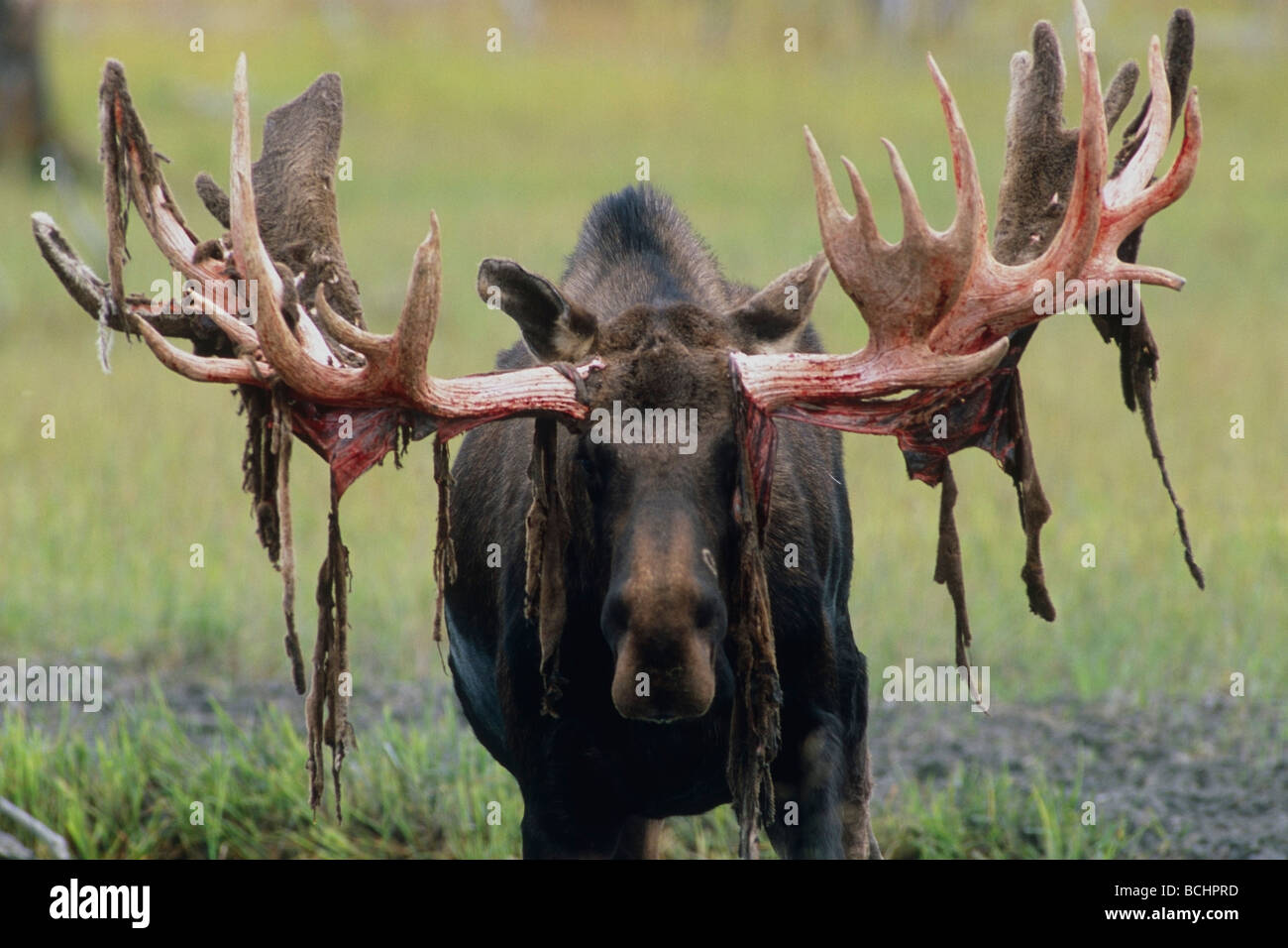captive bull moose shedding velvet at the alaska wildlife stock