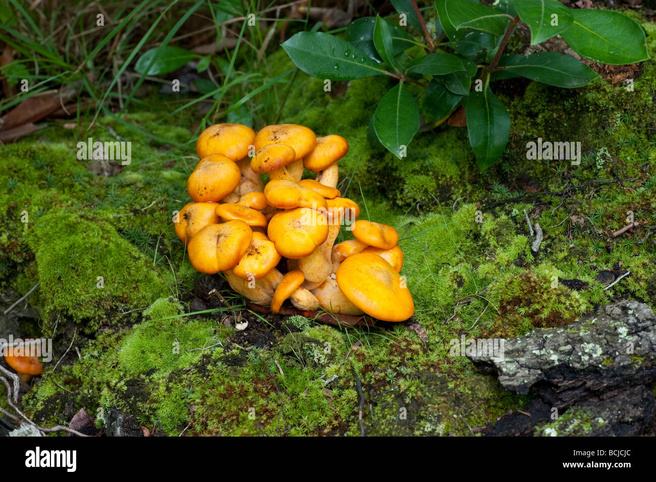 wild mushrooms growing on green lawn and grass stock photo