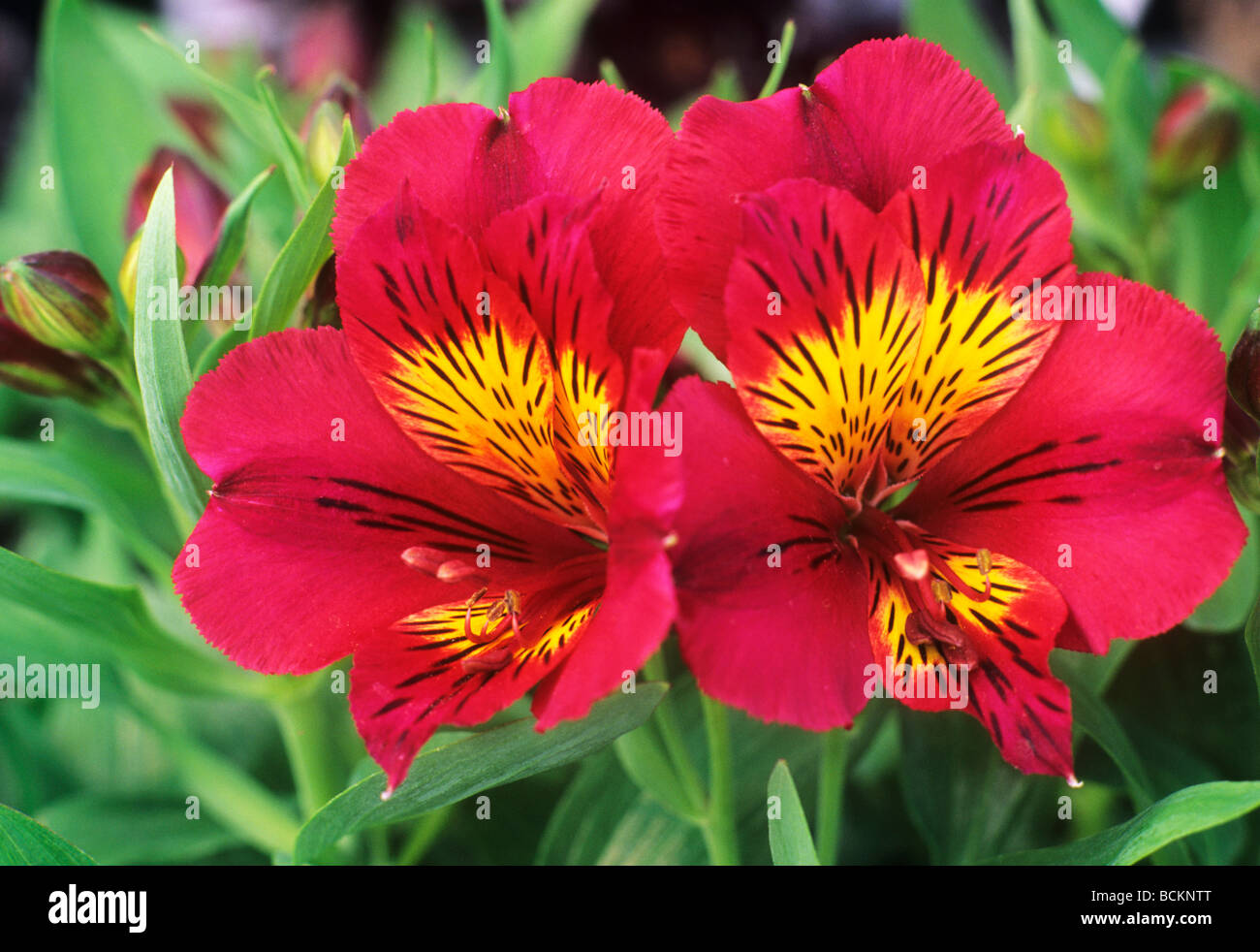 Alstroemeria Princess Oxana syn A Staprioxa red flower flowers Sto