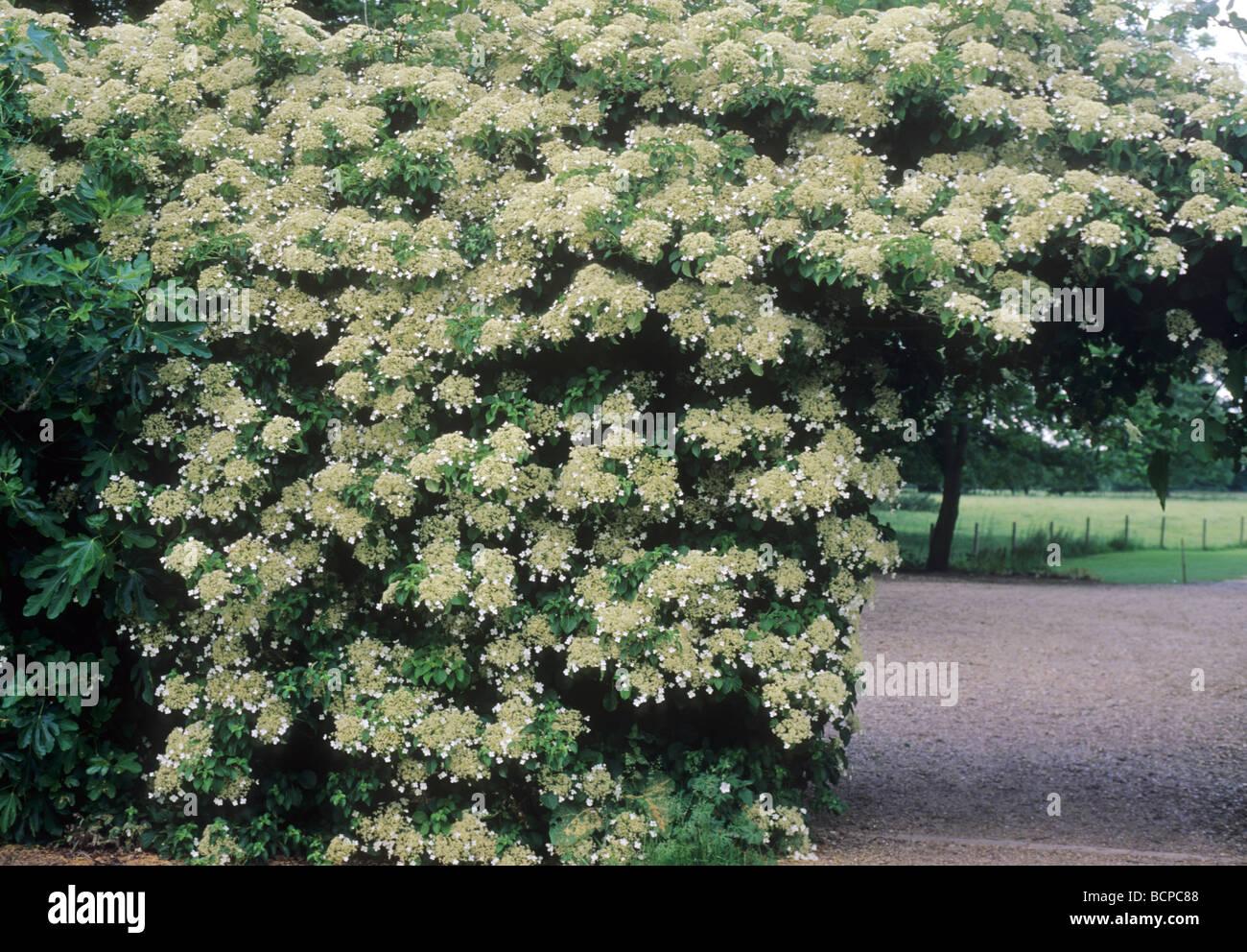 Hydrangea petiolaris climbing wall arch climber garden - Garden arch climbing plants ...