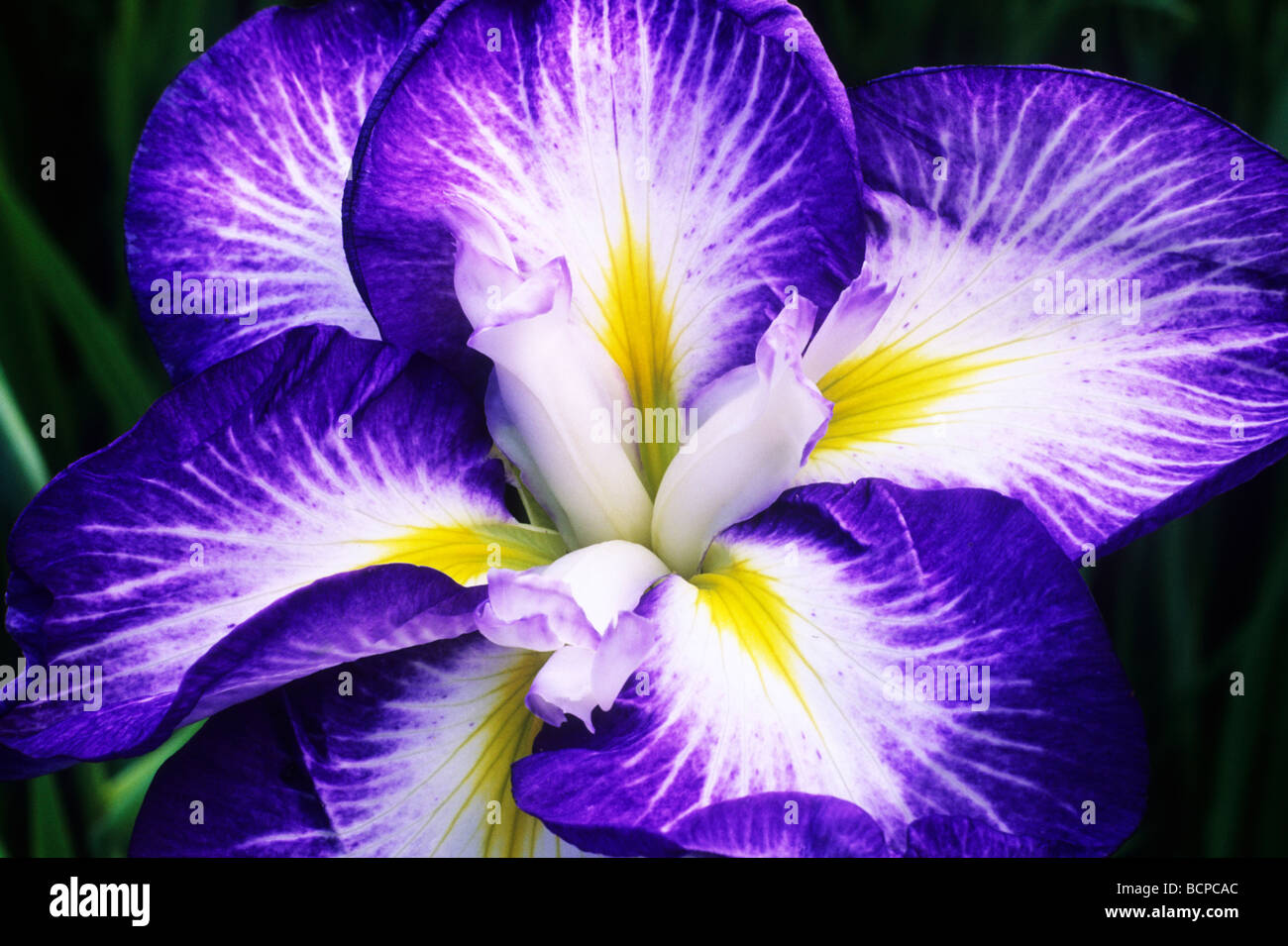 Iris ensata gusto blue and white flower flowers garden plant iris ensata gusto blue and white flower flowers garden plant plants dhlflorist Image collections