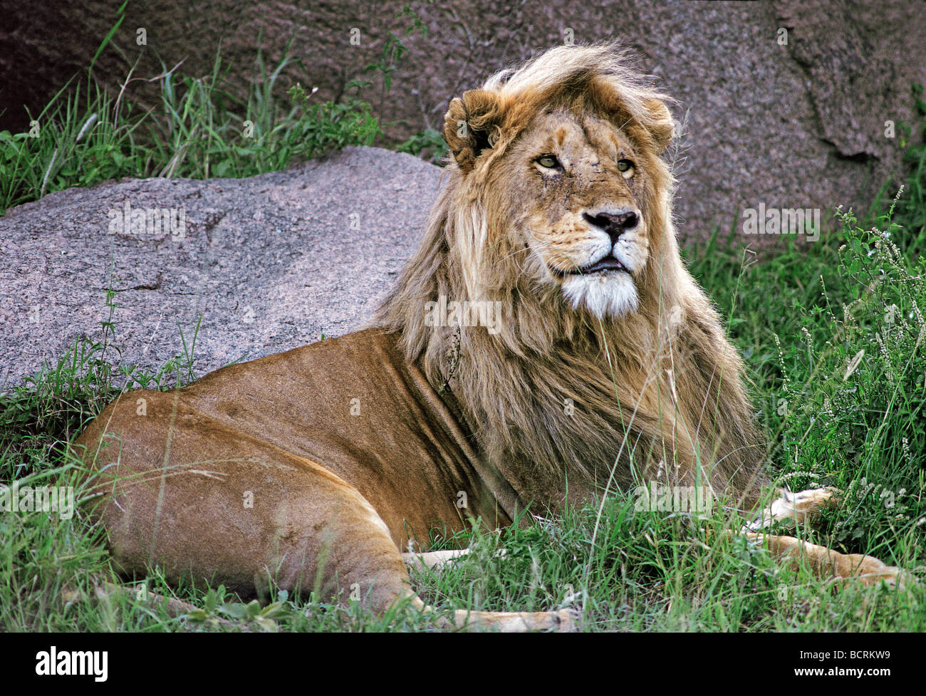 Male lion sitting up