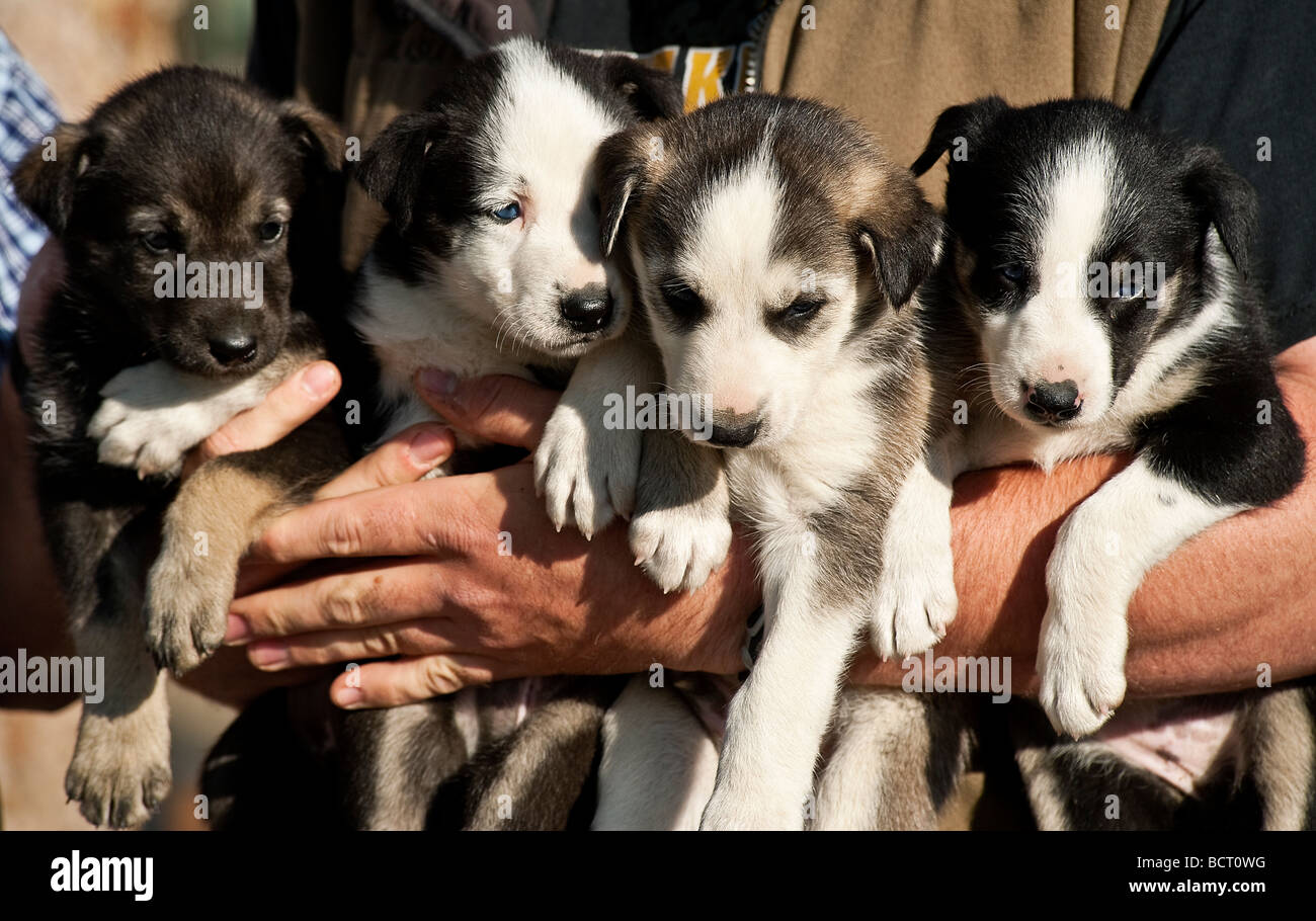 Alaskan Husky Puppies Jeff Kings Husky Homestead Kennel Denali - Husky homestead