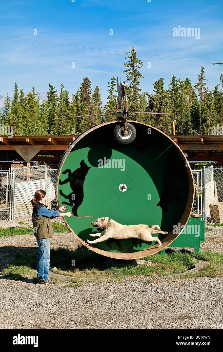 Alaskan Husky Sled Dog On Training Wheel At Jeff Kings Husky - Husky homestead