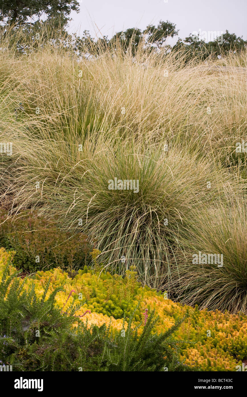 Festuca mairei Atlas Fescue flowering in grass meadow green roof garden on California home with Sedum Angelina : roof meadow - memphite.com
