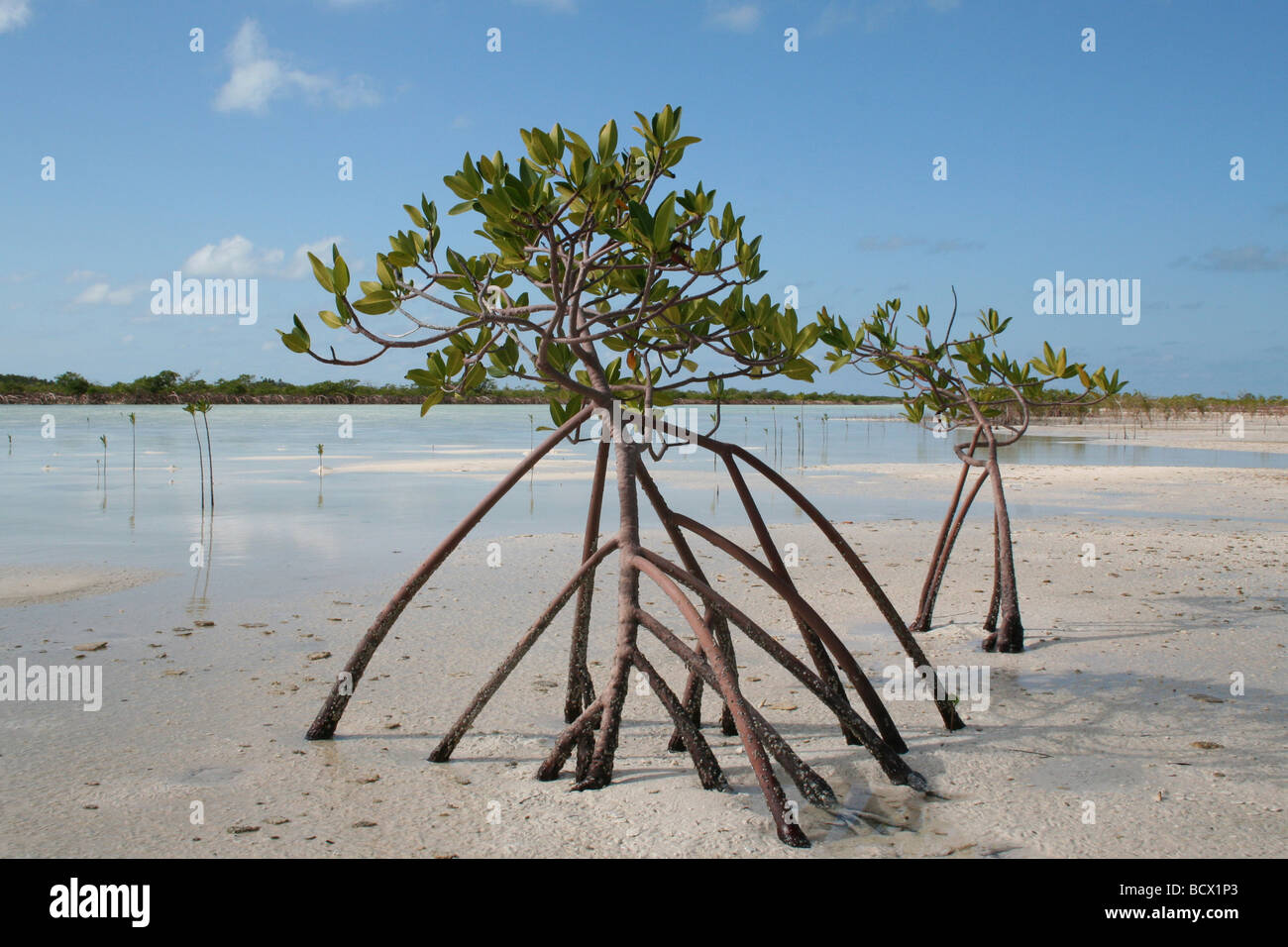 Red Mangrove (Rhizophora mangle) growing at low tide in salt water ...