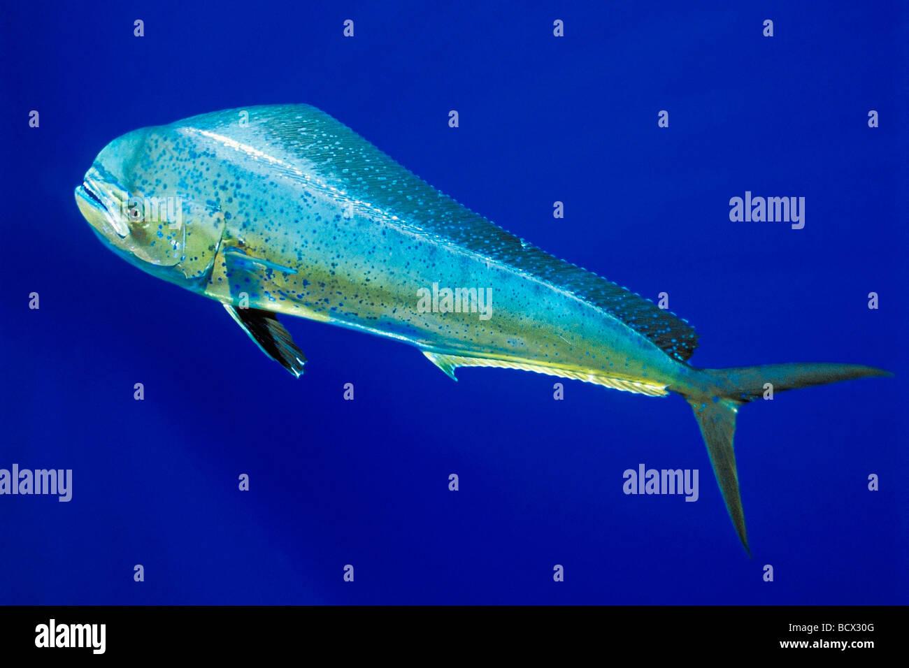 Mahi mahi dolphin fish or dorado cow coryphaena for Mahi mahi fish