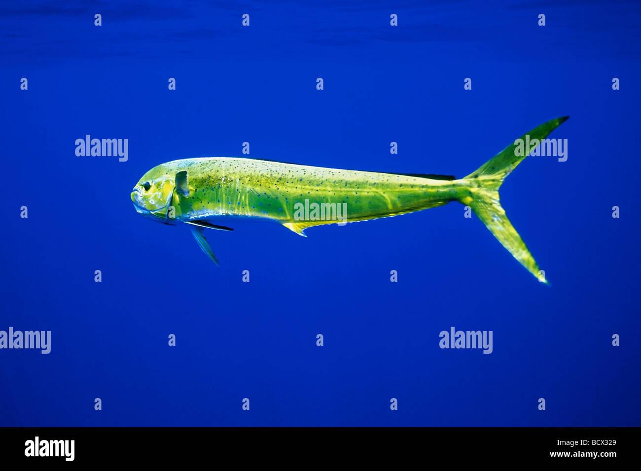 Mahi Mahi Fish facts and nutrition