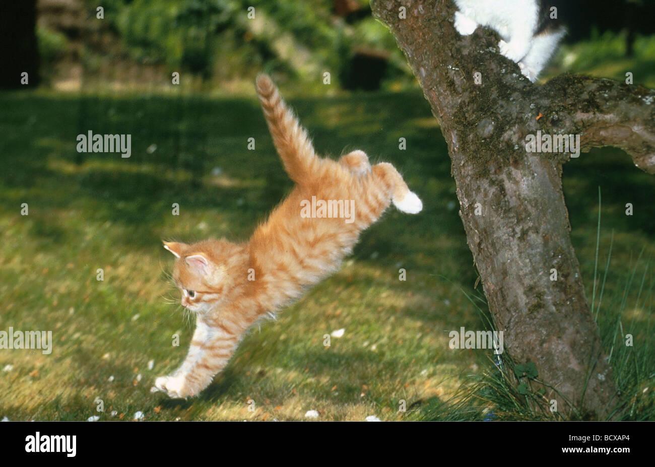 Cat angora jump